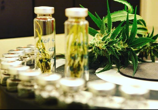 Cannabis Hybrid Strains